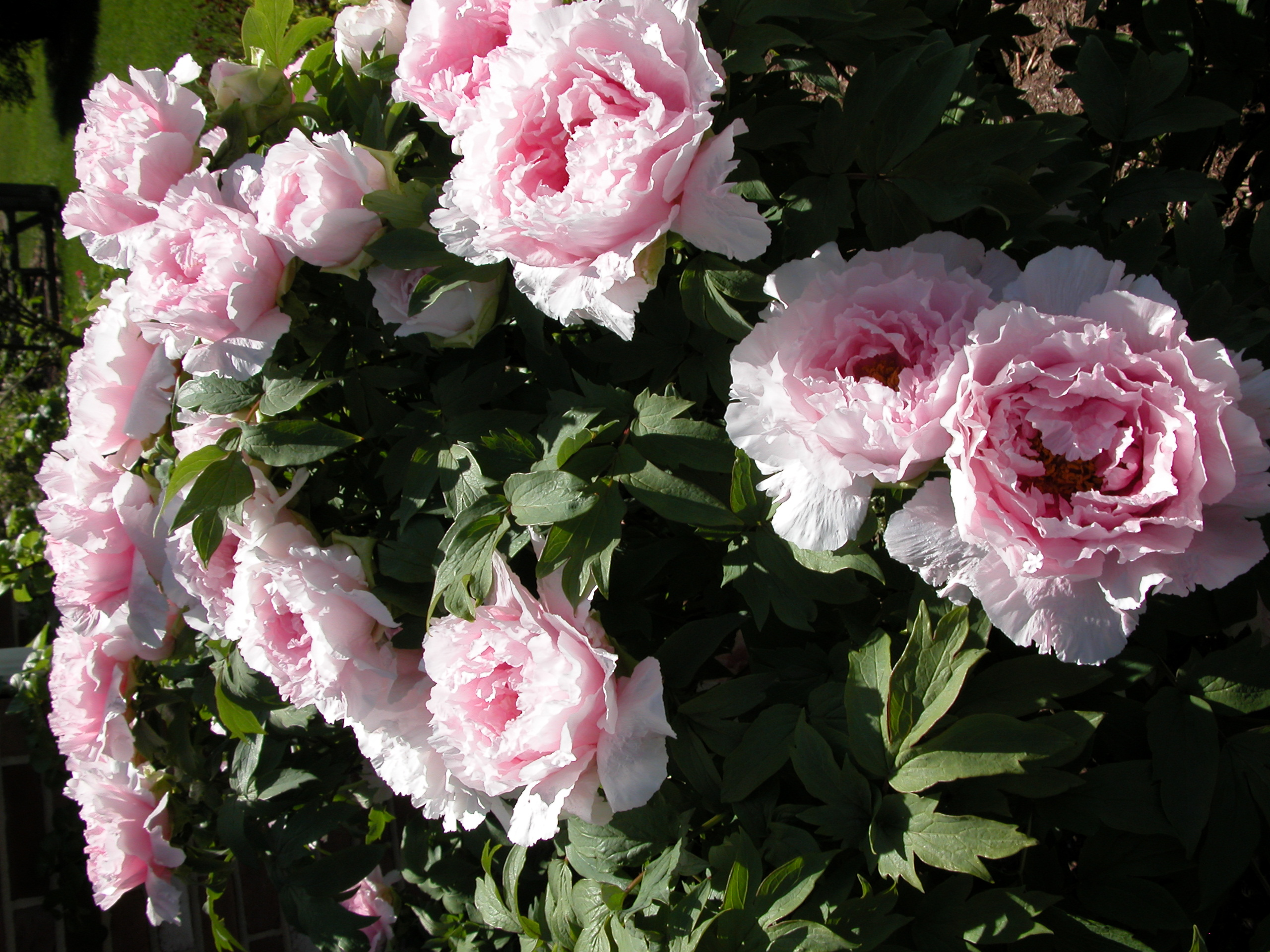 Hana Kisoi, Champion of the Flowers (Tree Peony ...